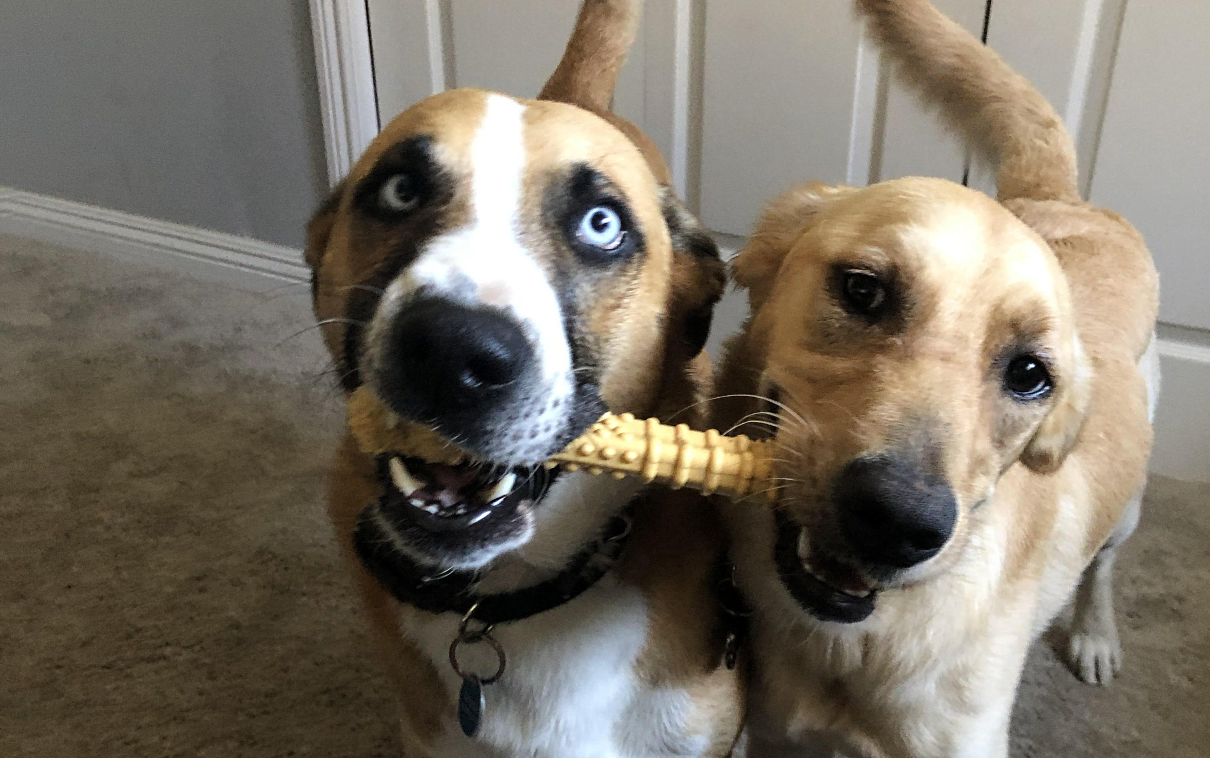 Two dogs sharing a bone