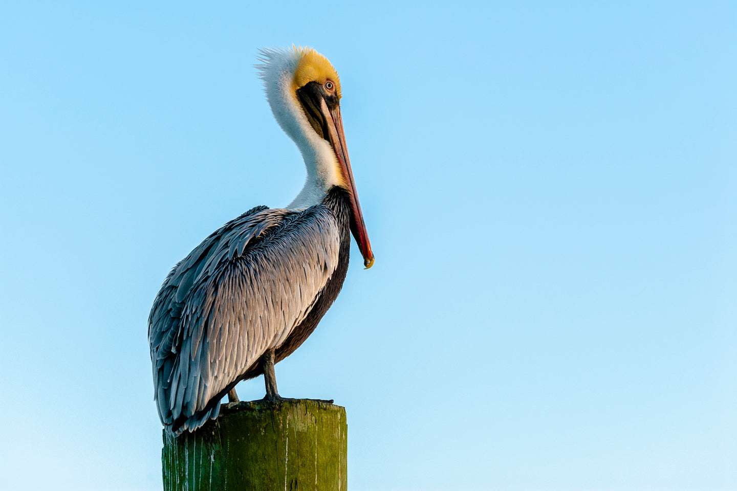 The Perching Pelican