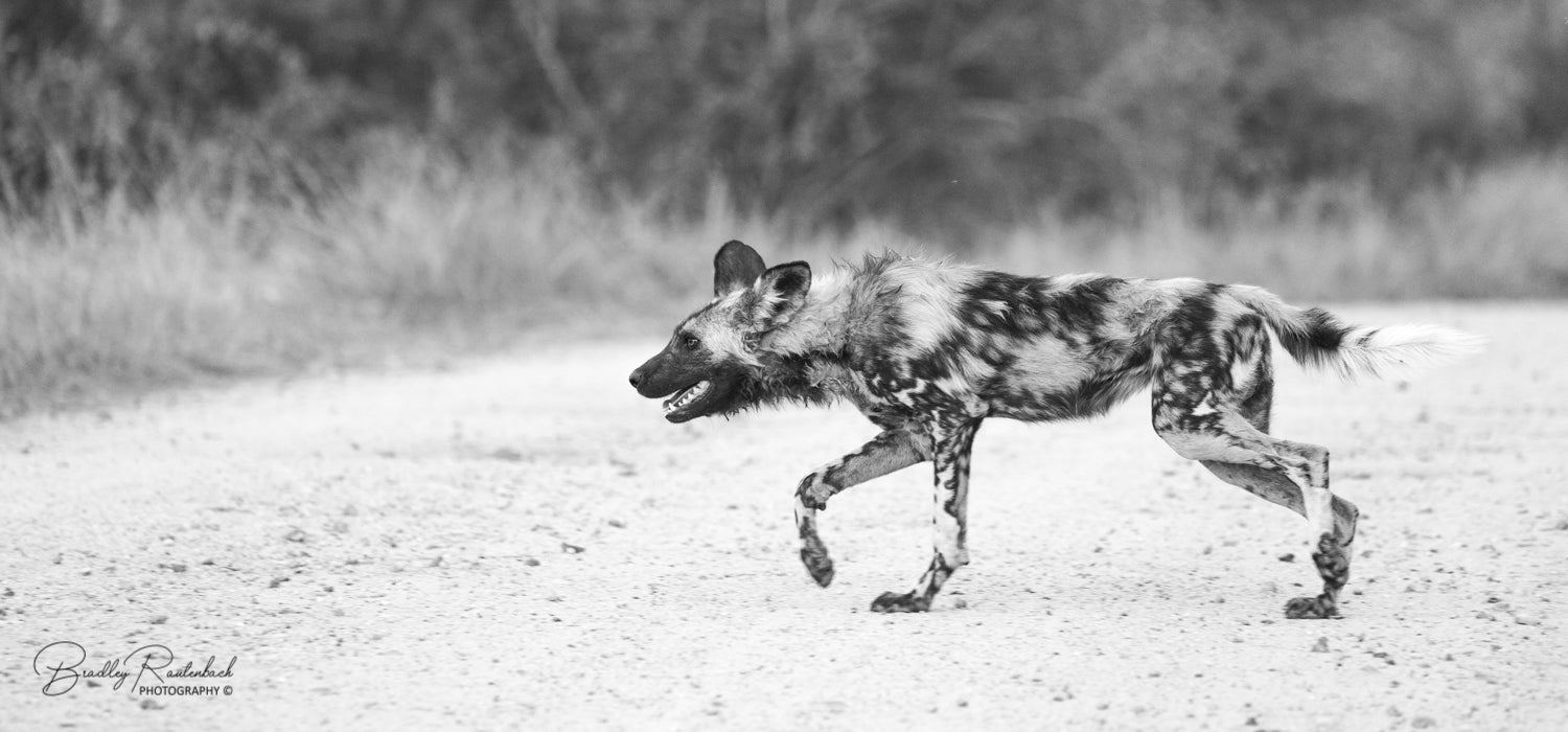 Black Eagle Expeditions Wild Dog