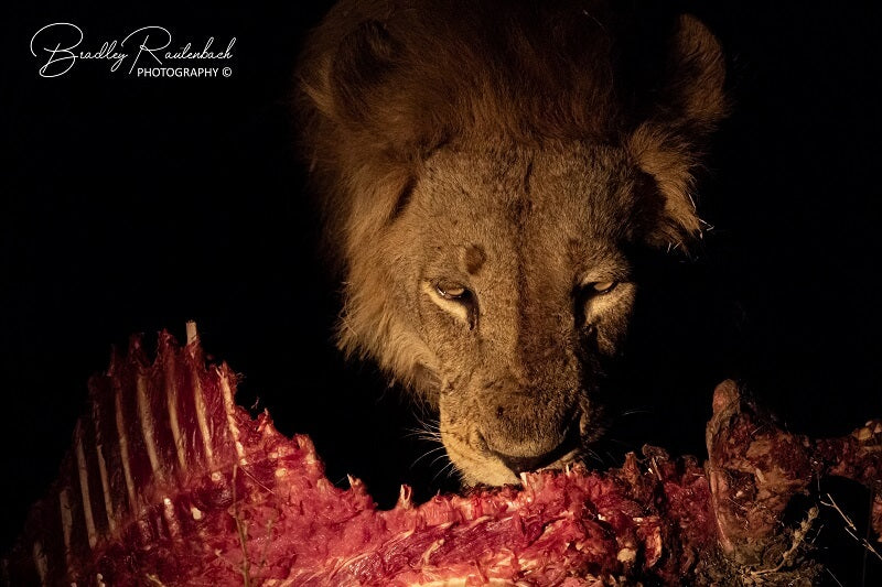 Lion Eating South Luangwa 2019 800 x 533 Pix