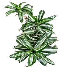 Load image into Gallery viewer, Dracaena fragrans <br> 'Warneckii Ulises' <br> Corn Plant