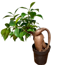 Load image into Gallery viewer, Ficus retusa <br> 'Ginseng' <br> Bonsai Fig