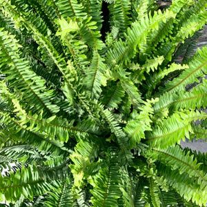 Nephrolepis obliterata <br> Kimberly Queen Fern