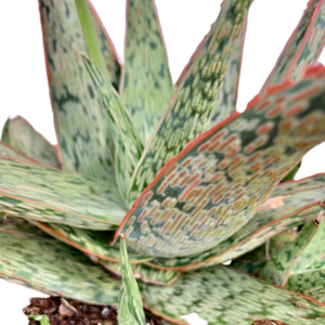 Aloe sp. <br> 'Pink Blush'