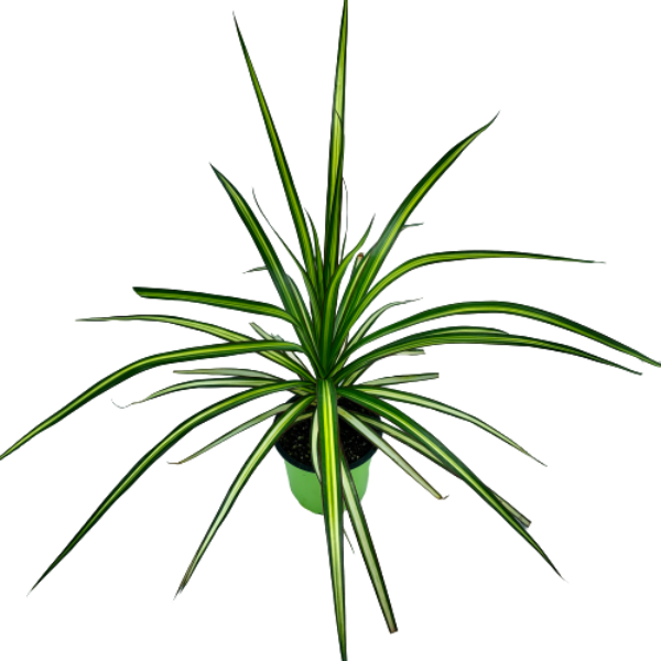 Dracaena marginata <br> 'Kiwi' <br> Dragon Tree