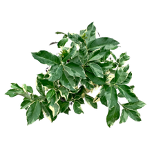 Load image into Gallery viewer, Citrus X limon <br> Variegated <br> Lemon Tree