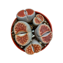 Load image into Gallery viewer, Lithops <br> Living Stones