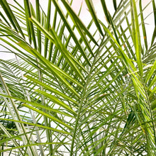 Load image into Gallery viewer, Phoenix roebelenii <br> Date Palm