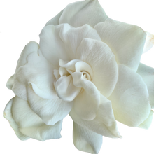 Load image into Gallery viewer, Gardenia jasminoides <br> Cape Jasmine