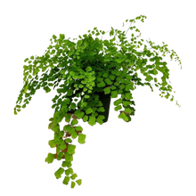 Load image into Gallery viewer, Adiantum raddianum <br> Maidenhair Fern
