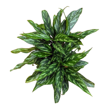 Load image into Gallery viewer, Aglaonema commutatum <br> Chinese Evergreen