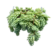 Load image into Gallery viewer, Sedum morganianum <br> Burro's Tail