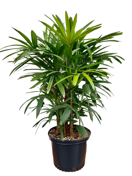 Rhapis excelsa <br> Lady Palm