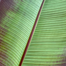 Ensete ventricosum <br> Red Banana
