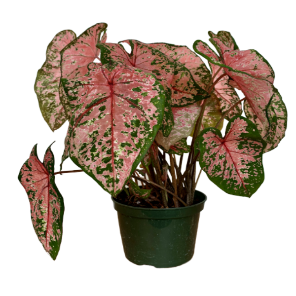 Caladium Hortulatum <br> 'Pink' <br> Angel Wings