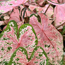 Load image into Gallery viewer, Caladium Hortulatum <br> 'Pink' <br> Angel Wings