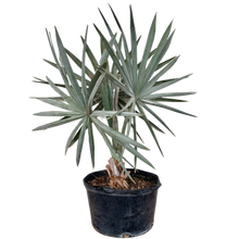 Load image into Gallery viewer, Bismarkia nolbilis <br> Silver Fan Palm
