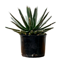 Load image into Gallery viewer, Agave victoriae X reginae <br> Queen Victoria's Agave