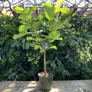 Ficus lyrata <br> Fiddle Leaf Fig