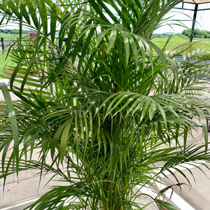 Dypsis lutescens - Areca Palm