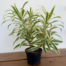 Load image into Gallery viewer, Dracaena reflexa - Song of India