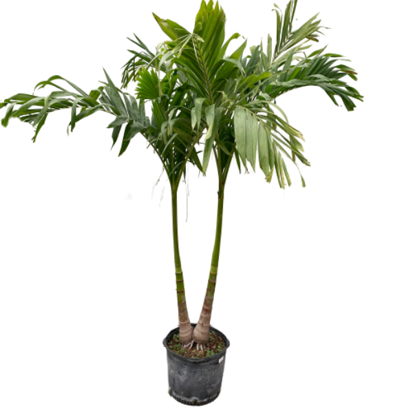 Adonidia merrillii <br> Christmas Palm