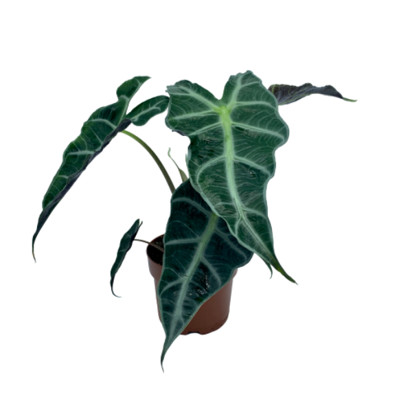 Alocasia sanderiana <br> 'Polly' <br> African Mask Plant