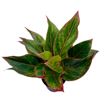 Load image into Gallery viewer, Aglaonema commutatum <br> 'Red Siam' <br> Chinese Evergreen
