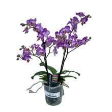 Load image into Gallery viewer, Phalaenopsis sp. <br> 'Maxiflora' <br> Orchid