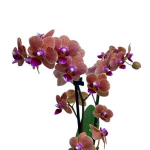 Phalaenopsis sp. <br> 'Maxiflora' <br> Orchid