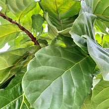 Load image into Gallery viewer, Ficus lyrata <br> Fiddle Leaf Fig