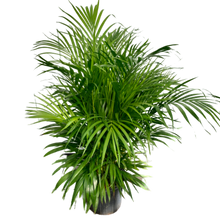 Load image into Gallery viewer, Dypsis lutescens - Areca Palm