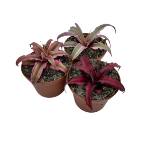 Cryptanthus zonatus <br> Earth Star