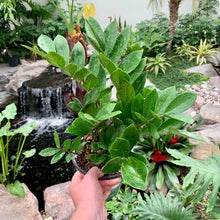 Load image into Gallery viewer, Zamioculcas zamiifolia <br> ZZ Plant