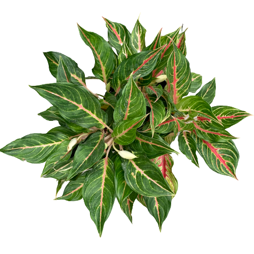 Aglaonema commutatum <br> 'Tropic Passion' <br> Chinese Evergreen