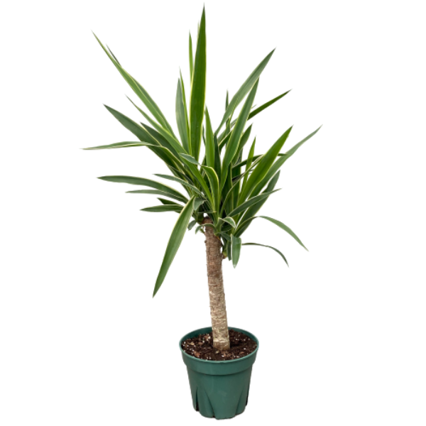 Yucca guatamalensis <br> Spineless Yucca Cane