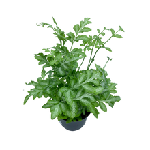 Load image into Gallery viewer, Assorted Fern