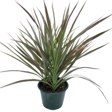 Load image into Gallery viewer, Dracaena marginata <br> Magenta Tips Dragon Tree