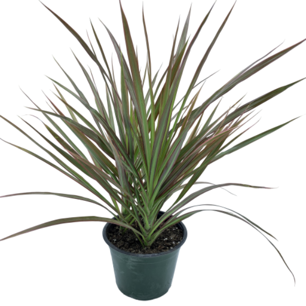 Dracaena marginata <br> Magenta Tips Dragon Tree
