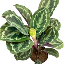 Load image into Gallery viewer, Calathea roseopicta <br> Medallion Prayer Plant