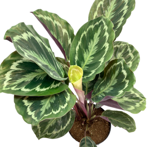 Calathea roseopicta <br> Medallion Prayer Plant