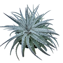 Load image into Gallery viewer, Dyckia sp. - Grey