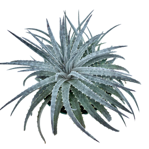 Dyckia sp. - Grey