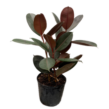 Load image into Gallery viewer, Ficus elastica <br> 'Burgundy' <br> Rubber Fig