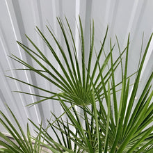 Load image into Gallery viewer, Chamaerops humilis <br> European Fan Palm