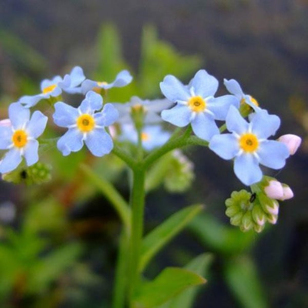 Myosotis scorpioides <br> Water Forget-Me-Not