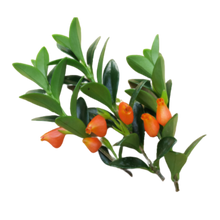 Load image into Gallery viewer, Nematanthus fornix <br> Goldfish Plant