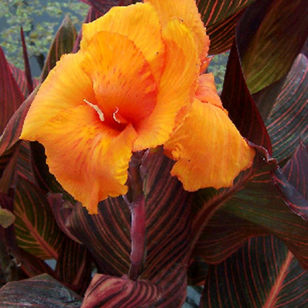 Canna sp. <br> 'African Sunset'