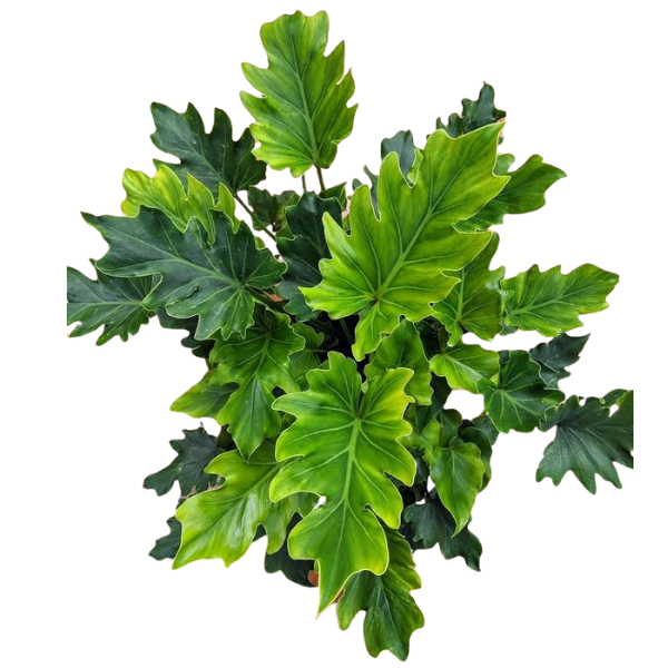 Thaumatophyllum Xanadu - 'Little Hope' - Split-Leaf Philodendron