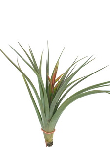 Tillandsia concolor <br> - Large